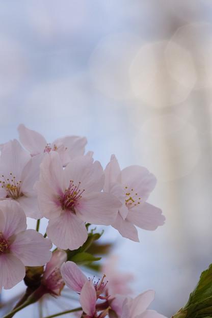 散らない桜