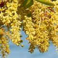 新緑のGW:ウバメガシの花♪