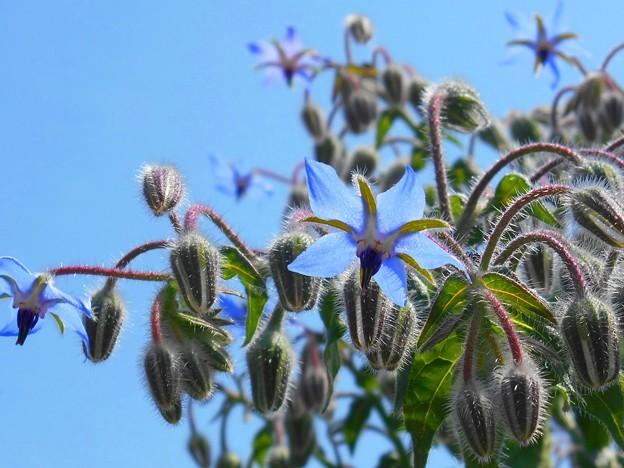ブルースカイなブルーボリジの花々♪