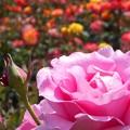 色とりどりの五月の薔薇たち♪