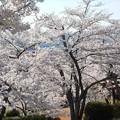 四月の桜 in 千光寺山