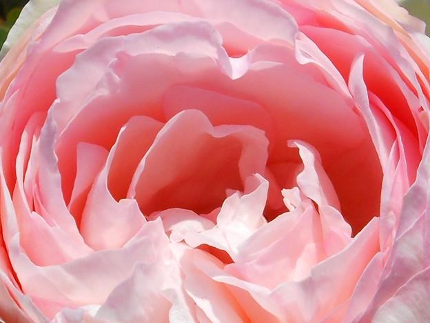 仄(ほの)かに甘く香る薔薇の花 in 福山ばら祭2014