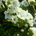 Photos: 梨の花々