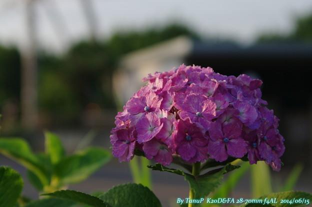 斜光の紫陽花