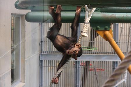 旭山動物園(チンパンジー)