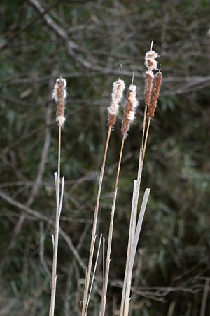 ガマの穂の綿毛