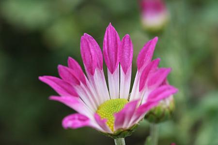 スプレー菊の一種