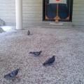 鳩の参拝(6月14日、神奈川縣護國神社)