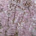 Photos: しだれ桜 C04031