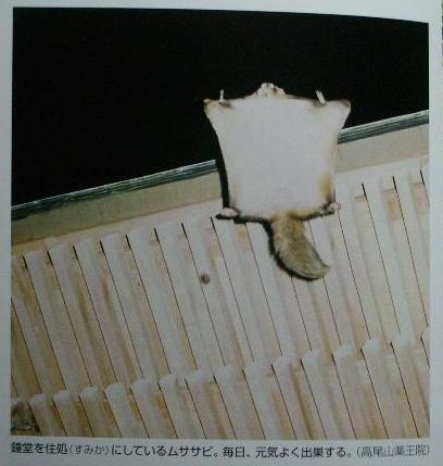 高尾山薬王院の鐘堂から滑空するムササビ(books/0125)