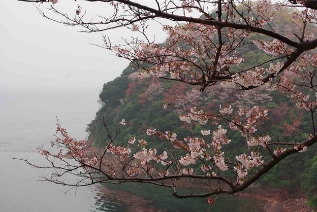 IMGP6627 春雨の周防大島千本桜