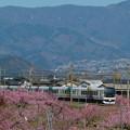 写真: 桃畑を行くあずさ