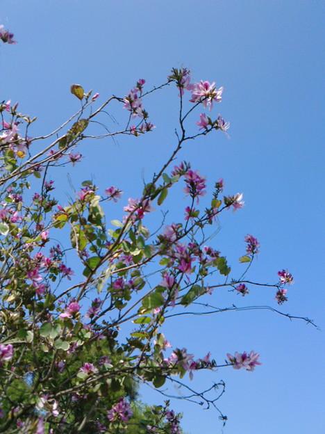 バウヒニアの花