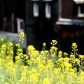 蔵と菜の花