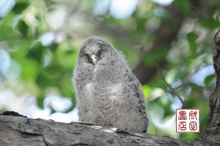 フクロウのヒナ05