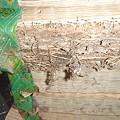 写真: 白蟻