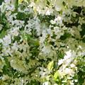 写真: エゾノコリンゴの花