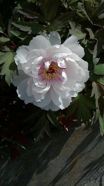 140426-4 白い牡丹(?)
