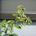 写真: 140501-2 ブルーベリーの花