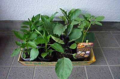 写真: 140501-7 野菜の苗