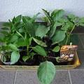 Photos: 140501-7 野菜の苗