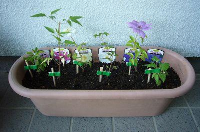 140502-5 プランターに植えたクレマチスの苗