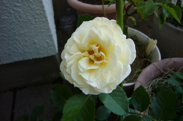 140530-4 クリーム色(薄らピンク)のバラ