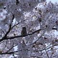 満開の桜 お花見スズメちゃん