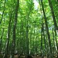 新緑の美人林(1)