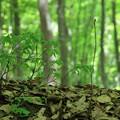 新緑の美人林(2)  ブナの新芽