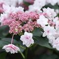ピンクの八重ガクアジサイ(1)