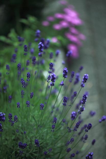 花壇のふらのラベンダー