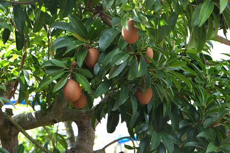 サボジラ樹木