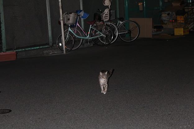 日本橋電気街界隈の猫