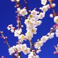 申し分のない大雪明けの青空と梅の咲き・・曽我梅林
