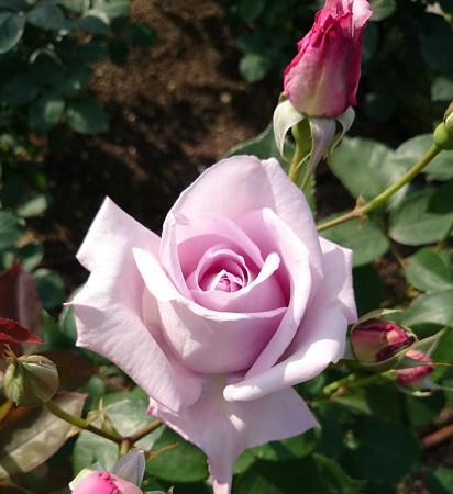 紫っぽいバラ
