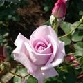 Photos: 紫っぽいバラ