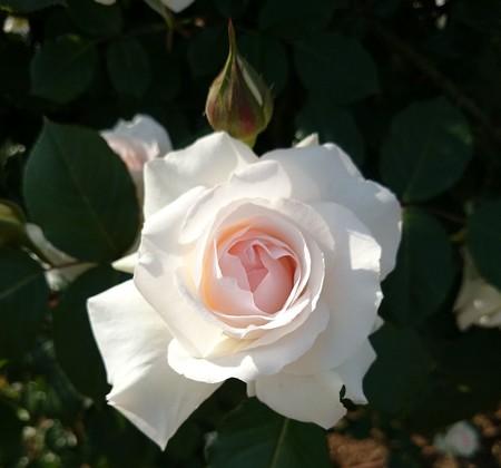 妖精さんがいそうなバラ