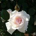 Photos: 妖精さんがいそうなバラ