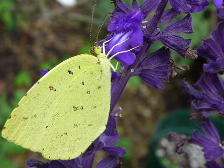 1009 サルビアと黄色い蝶々