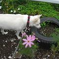 写真: タイヤ花壇をチェックするましろちゃん