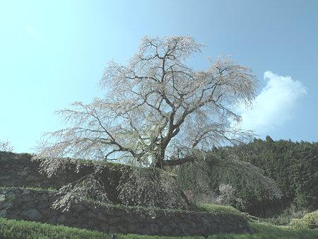 007_又兵衛桜