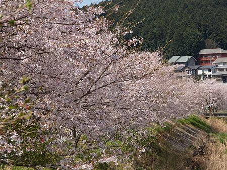 302_宇陀川の桜