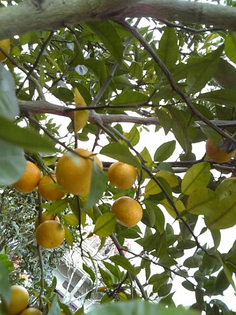 蜜柑じゃないよ酢橘だよん