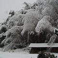 Photos: 反対側から 雪と竹
