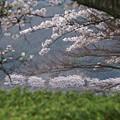 写真: 対岸の桜をこういう風に見てみました゚∇^*) テヘ♪