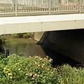 写真: 昭和橋の芙蓉
