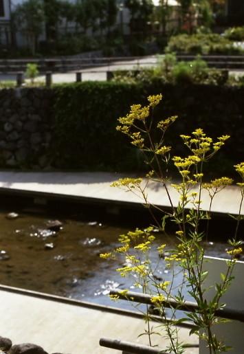 写真: オミナエシ 01
