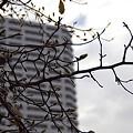 写真: コブシの芽 02