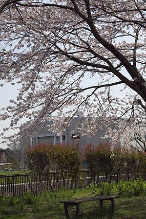 東戸塚の桜 04